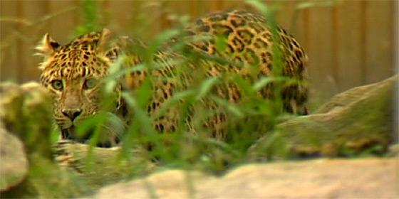 Leopárd találat