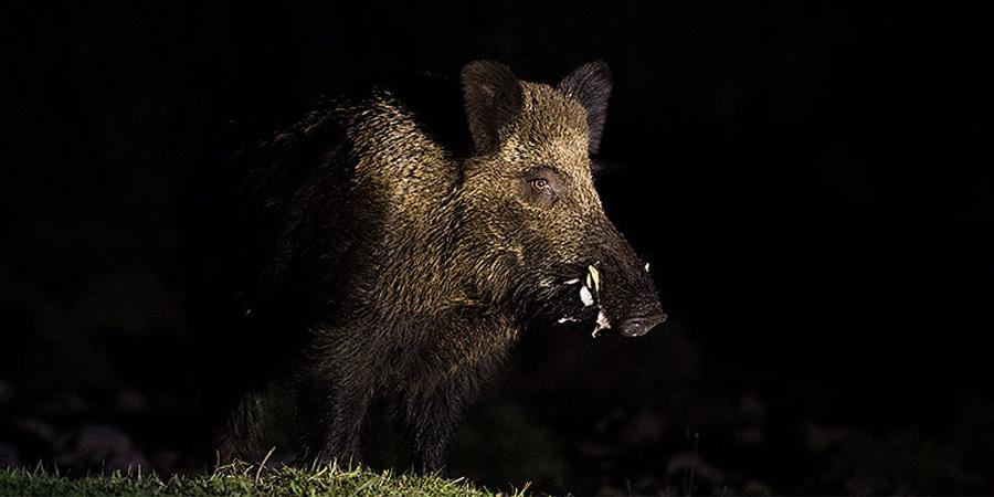 Éjszaka egy vaddisznó látványa. Mit tegyünk, ha felénk csörtet a vaddisznó?